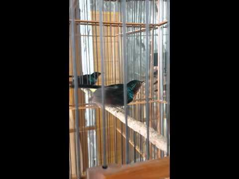 Kolibri wulung tembakan kenari