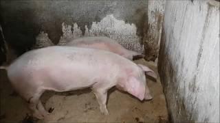 видео: Свинья не встает на ноги.Что делать.