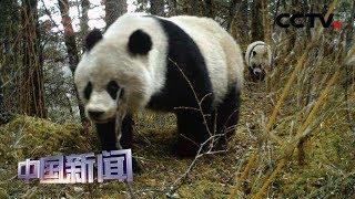 [中国新闻] 四川:拍摄到雌性大熊猫带崽活动影像 | CCTV中文国际