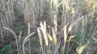 видео Кондитерская пшеница