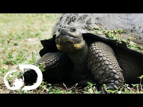 The Biggest Tortoise In the World | Big Pacific