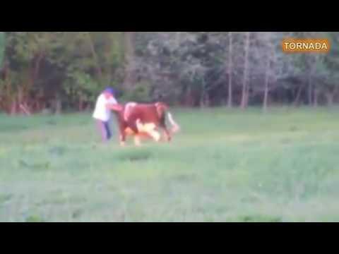 Мужик завалил быка за рога
