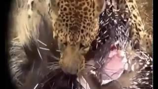 動物の世界 ヒョウ、ライオン、パイソン、ハイエナ、クマ対ハリネズミの...