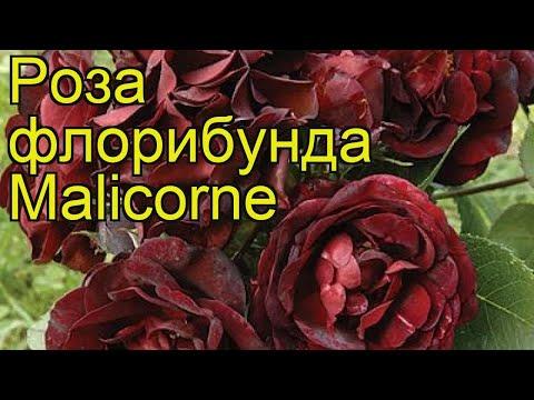 Роза флорибунда Маликорн. Краткий обзор, описание характеристик, где купить саженцы Malicorne