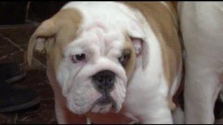 Labrador Retriever Crowned Most Popular Dog - New York Post