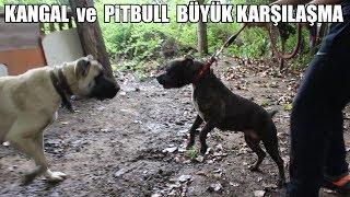 PİTBULL, KANGAL ve DOGO ARGENTİNO ( Büyük Karşılaşma, Efsaneler Bir Arada ) Strongest Dogs