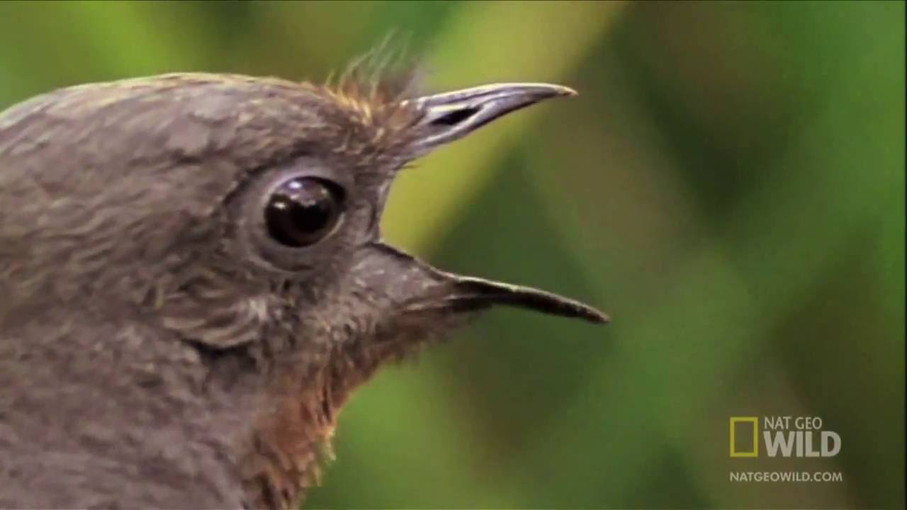 Lyrebird Mimicking Chainsaws, Cameras, Cars and Even People! - YouTube
