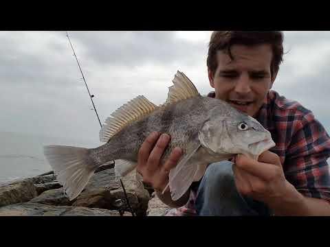 Drop Shot Jetty Fishing: Black Drum On Shrimp