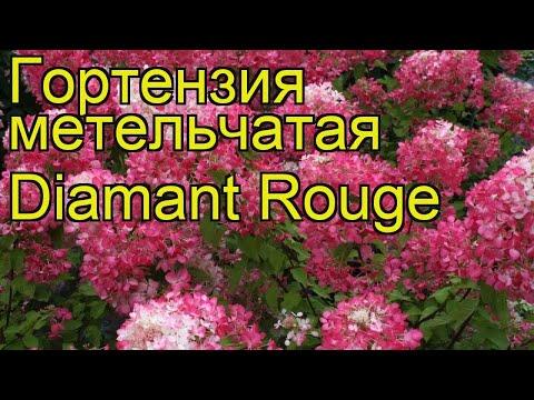 Гортензия метельчатая Diamant Rouge. Краткий обзор, описание характеристик, где купить саженцы