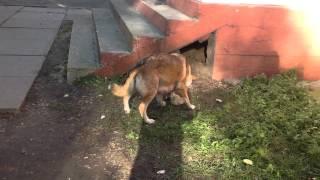 Королев Sos! 7 щенов и собака, жители двора перебили ей лапу и вызвали отлов