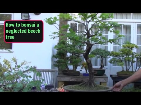 Neglected Beech Tree  Wired, Shaped, Pruned and tidied up Part 1