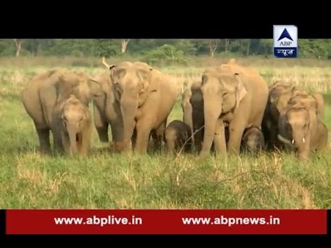 Jungle: Watch how wild elephants are tamed