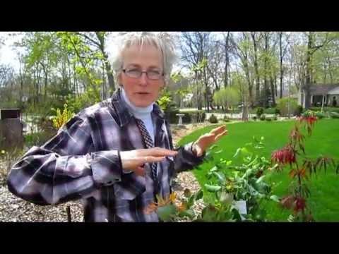 Honeysuckle Trellis - Wisconsin Garden Video Blog 388