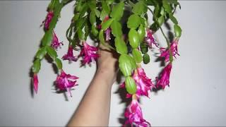 Декабрист Уход что сейчас сделать для Обильного цветения Шлюмбергера  Decembrist conditions for flow