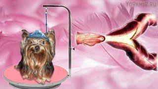 Ложная беременность у собак | Симптомы | Что делать.