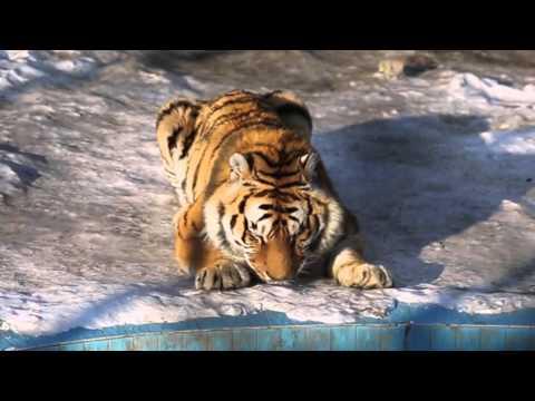 Heilongjiang Harbin 2016: Siberian Fat Tiger Prison 哈尔滨东北虎林园