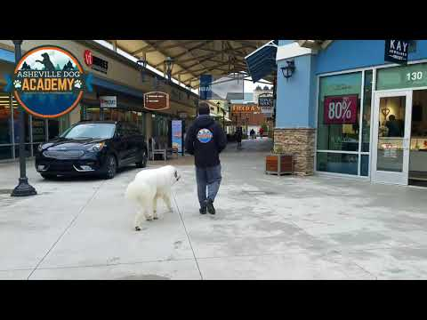 Asheville Dog Academy - 9 month Great Pyrenees Off-leash Obedience Uncut - Asheville Dog Training