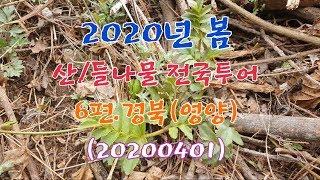 #2020년 봄 산나물/들나물 전국투어 6편.경북(영양…