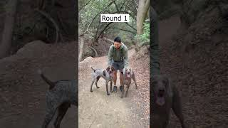 Who is Faster?  Weimaraner vs German Shorthaired Pointer