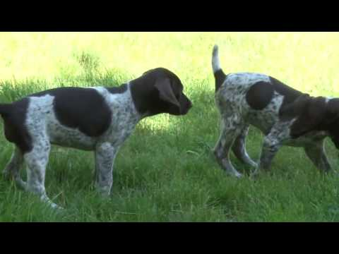 German Shorthaired Pointer Puppy Fun