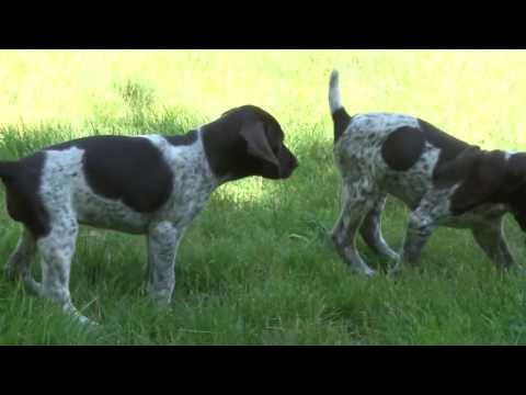 German Shorthaired Pointer Puppy Fun