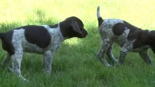German Shorthaired Pointer Puppy Fun | Paul Fuller
