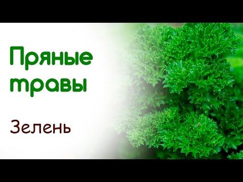 Как вырастить эстрагон (тархун) на подоконнике