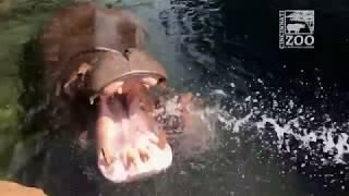 Baby Hippo Fiona Hose Play (Fiona Show S3 Ep 3) Cincinnati Zoo