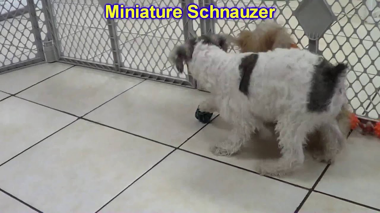 Puppies For Sale In Orlando Craigslist - Best Car News 2019-2020 by