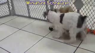 Miniature Schnauzer, Puppies, For, Sale, In, Aurora, Illinois, Il, Moline, Belleville, Lombard, Deka