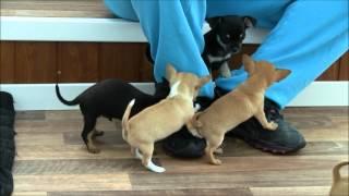 Chihuahua Puppies at Chihuahua World