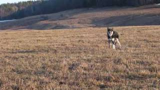 Australian Shepherd - Dog Paradise