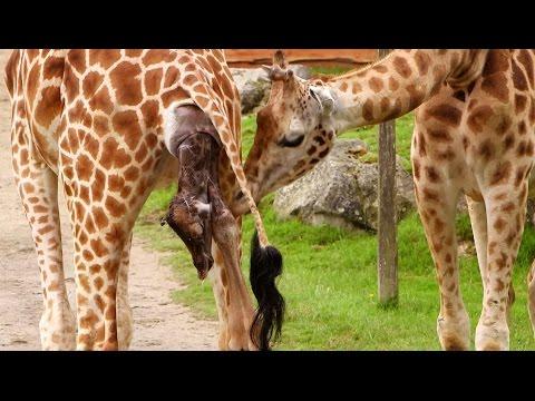 Bébé girafe naissance à haut risque !