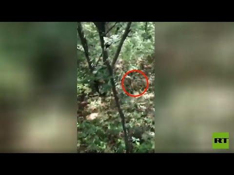 شاهد.. ظهور مفاجئ لنمر يجبر صيادي الفطر على تسلق شجرة