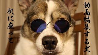 【保護犬】動画編集する犬【子犬】いつも机に座るワイルドなもみじ!?