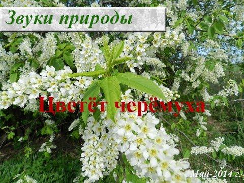 Белая медитация. Черемуха в цвету. Как цветет черемуха?