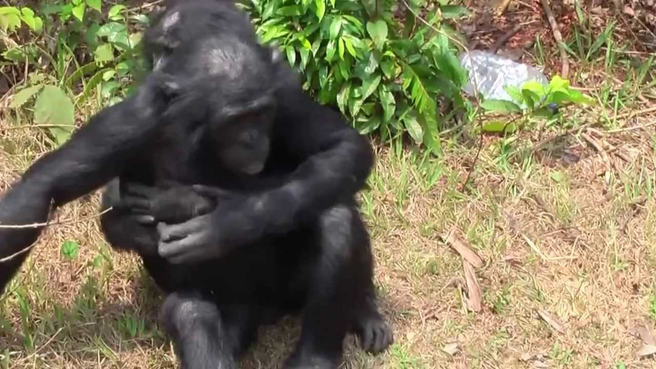 Сношение приматов смотреть видео