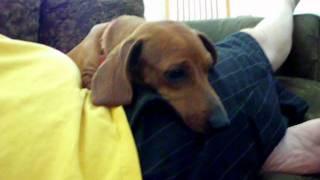 German Shorthaired Pointer/chocolate Labrador Vs. Weiner Dog Pt. 4