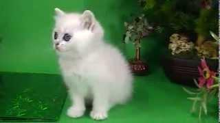 Вершина Айсберга, британский котенок шиншилла, кошка, рождена 16.11.2013