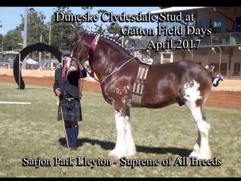 Gatton Heavy Horse field days 2017 Duneske Clydesdales video compilation