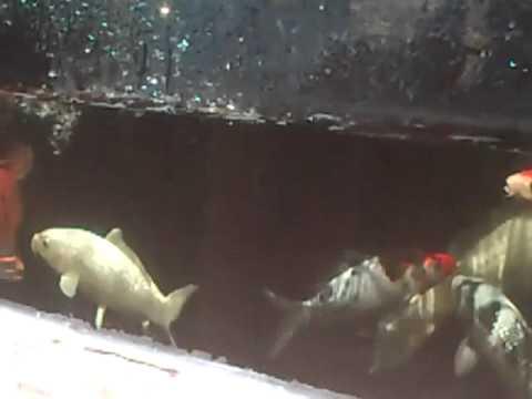 Kois estanque con cristal youtube for Carpas koi para estanques