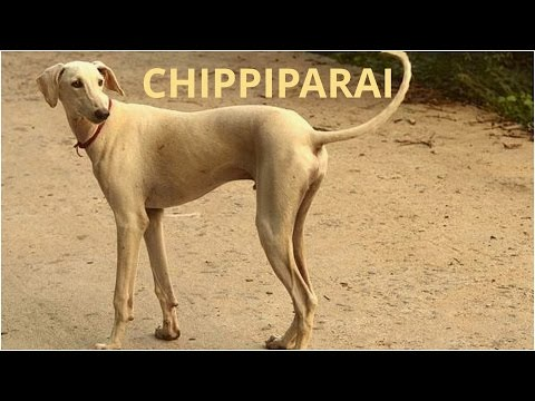 Chippiparai dog, India