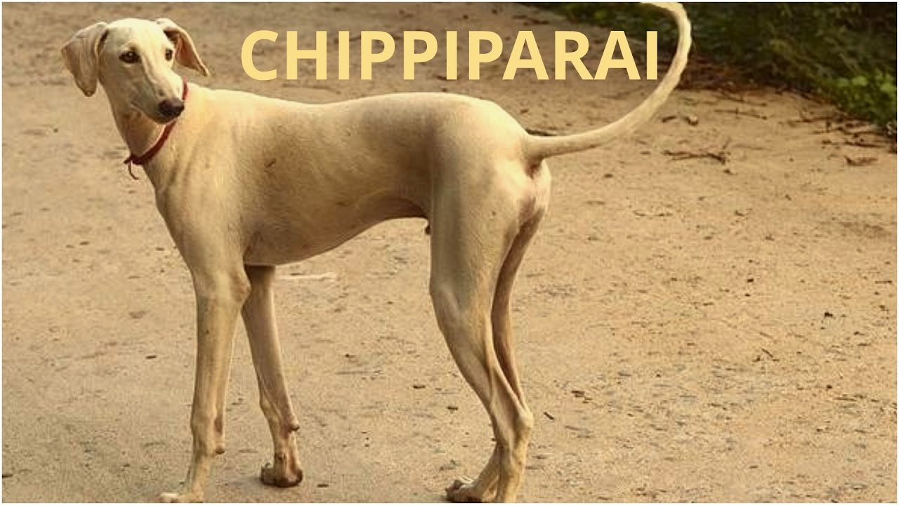 Chippiparai Dogs | Dog Breeds | Dogs Profile
