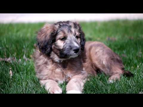 Bordoodle Puppies - Mountain Rose Borderdoodles - Hybrid cross between Border Collie and Poodle