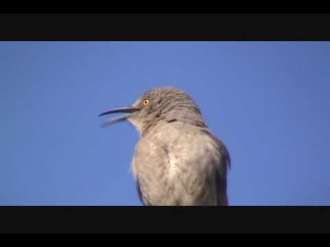 A Curve-Billed Thrasher Sings His Song