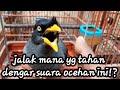 Jalak Kebo Gacor Suara Pancingan Paling Manjur  Mp3 - Mp4 Download