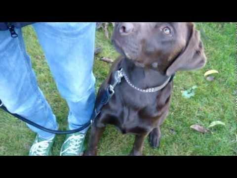 Fuß! Wie bringe ich meinem Hund Fuß bei?     Hunde Video!