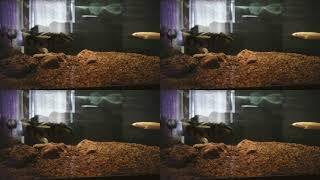 My little monsters :)   Bichir   dragon fin   albino senegal   endlicheri   Monster fish
