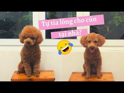 Tự Cắt Tỉa Lông Tại Nhà Cho Cún Poodle Khó Hay Dễ? Trải Nghiệm Lần đầu Cầm Tông đơ ^^| MuunXu