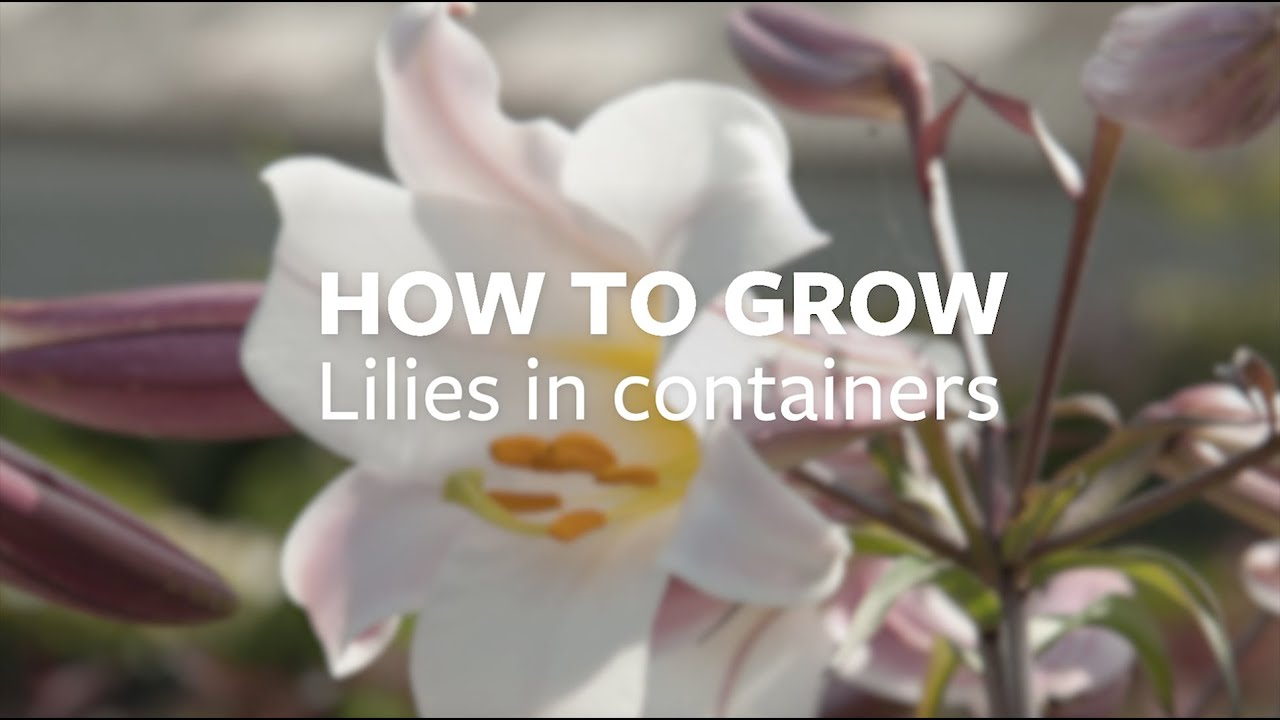 How To Grow Lilies In Containers Youtube